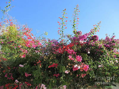 Photograph - Bougainvillea by Chani Demuijlder