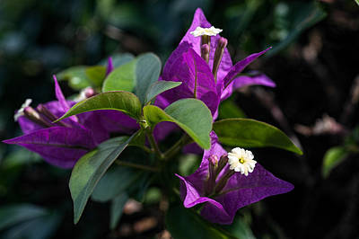 Photograph - Bougainvillea by Dan McManus