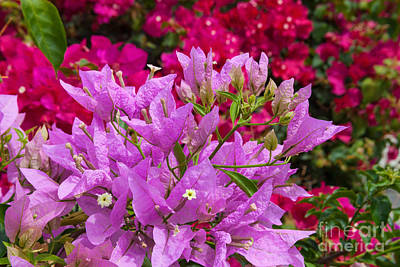 Photograph - Bougainvillea by Diane Macdonald