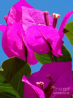 Photograph - Bougainvillea Flora by Michael Hoard