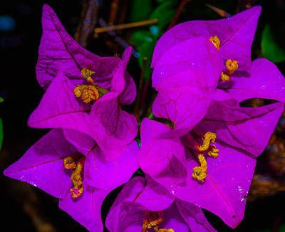 Photograph - Bougainvillea Matte Touch by Lisa Cortez
