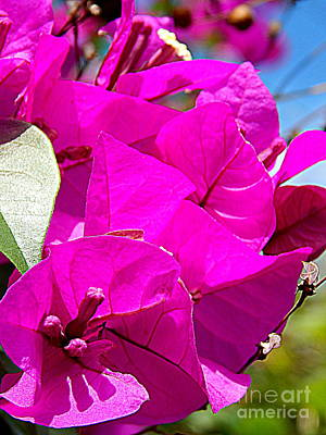 Photograph - Bougainvillea   by Michael Hoard