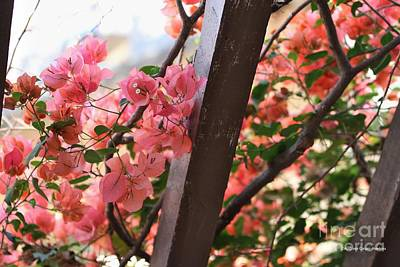Photograph - Bougainvillea On Trellis by Audreen Gieger
