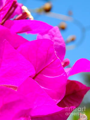 Photograph - Bougainvillea Petals by Michael Hoard