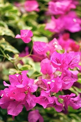 Bougainvilleas Photograph - Bougainvillea Spectabilis Flowers by Maria Mosolova