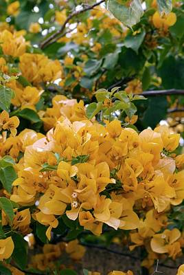 Bougainvilleas Photograph - Bougainvillea Spectabilis In Flower by Adrian Thomas