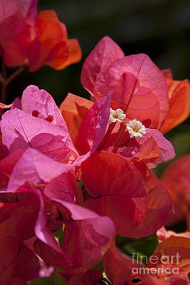 Photograph - Bougainvillea Spectabilis by Sharon Mau