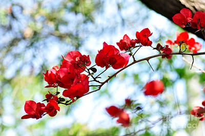 Photograph - Bougainvillea Springtime by Kaye Menner