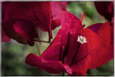 Photograph - Bougainvillea by Steven Sparks