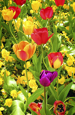 Tulip Photograph - Boulder Tulips by Marilyn Hunt