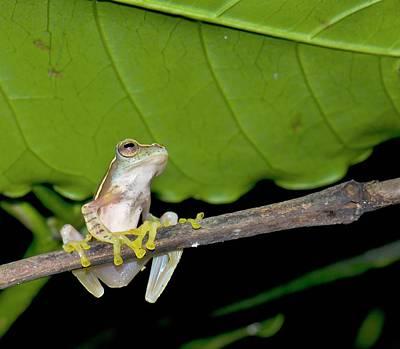 Frog Photograph - Boulenger's Tree Frog by K Jayaram