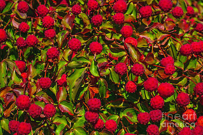 Photograph - Bountiful Dogwood Fruit by Tikvah's Hope