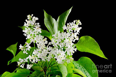 Photograph - Bouquet Of White Lilacs At Black Background by Kennerth and Birgitta Kullman