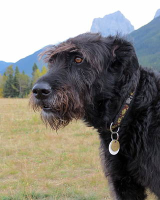 Photograph - Bouvier Des Flandres by Ramona Johnston