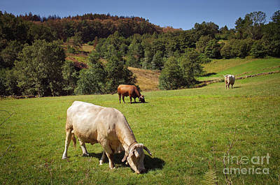 Pasture Scenes Photograph - Bovine Cattle  by Carlos Caetano
