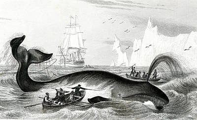 Harpoon Photograph - Bowhead Whale Being Hunted by Collection Abecasis