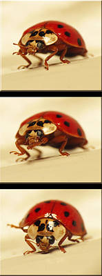 Photograph - Bowing Ladybug . Art And Frame Print Only by Walter Klockers