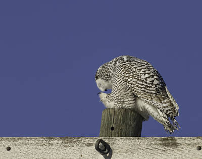 Telephone Poles Photograph - Bowing Snowy Owl by Thomas Young