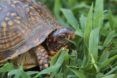 Photograph - Box Turtle On The Move by Jane Eleanor Nicholas