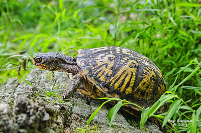 Photograph - Box Turtle by Peg Runyan