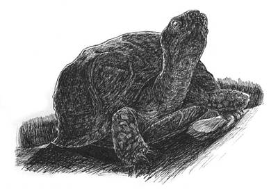 Reptiles Drawings - Box Turtle Study by John Disher