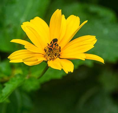 Fornication Photograph - Boxelder Bug Feeding On Pollen by Douglas Barnett