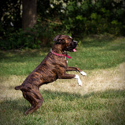 Photograph - Boxer At Play by Sennie Pierson