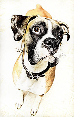 Art Print featuring the photograph Boxer Dog Poster by Peter v Quenter