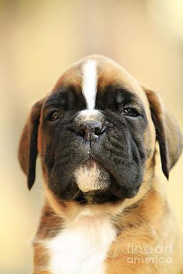Cool Puppy Boxer Dog Art Print by Dan Radi