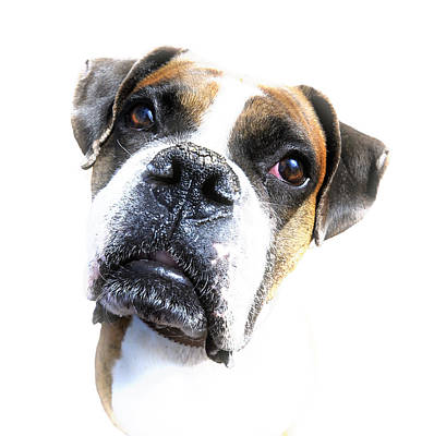 Boxer Expression Art Print by Susan Leggett