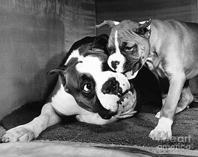 Animal Portraiture Photograph - Boxer Playing With Puppy by ME Browning