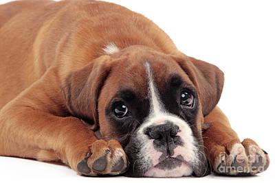 Boxer Puppy Dog Art Print by Jean-Michel Labat