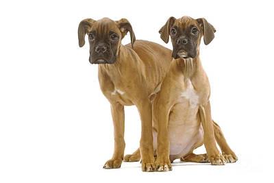 Boxer Puppy Dogs Art Print