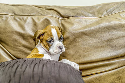 Boxer Puppy On Couch Art Print by Tony Moran