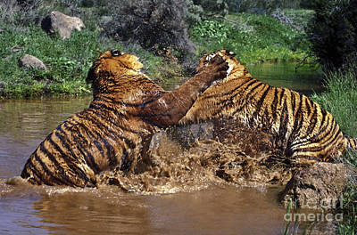 Photograph - Boxing Bengal Tigers Wildlife Rescue by Dave Welling