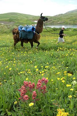 Llama Photograph - Boy Hiking With Llamas, Highland Mary by Kennan Harvey