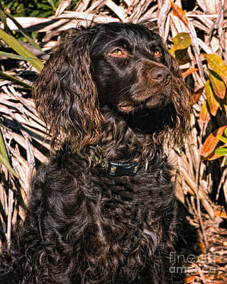 Woodcock Photograph - Boykin Spaniel Portrait by Timothy Flanigan