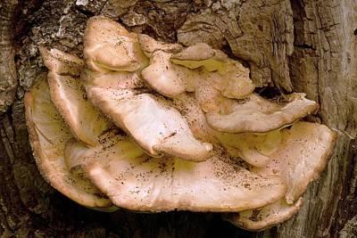Bracket Fungus Photograph - Bracket Fungus by Adrian Thomas