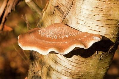 Bracket Fungus Photograph - Bracket Fungus by Ashley Cooper
