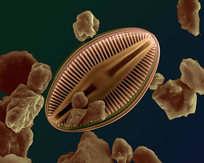 Photograph - Brackish Water Diatom by Dee Breger