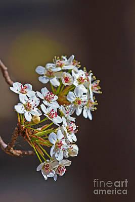 Photograph - Bradford Blossoms by Gene Berkenbile