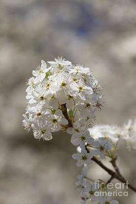 Photograph - Bradford Blossoms Vii by Gene Berkenbile