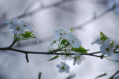 Photograph - Bradford Pear Blooms by Mark McReynolds