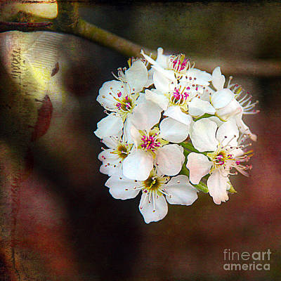 Photograph - Bradford Pear by Judi Bagwell