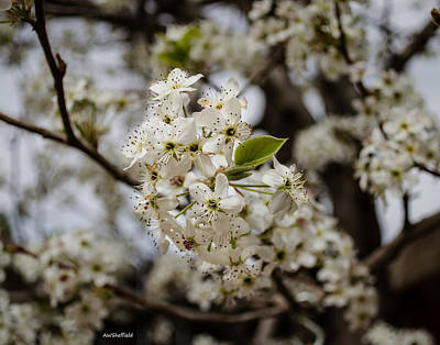 Photograph - Bradford Pear Tree by Allen Sheffield