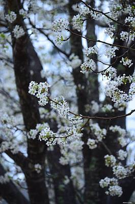 Photograph - Bradford Pear Tree by Maria Urso