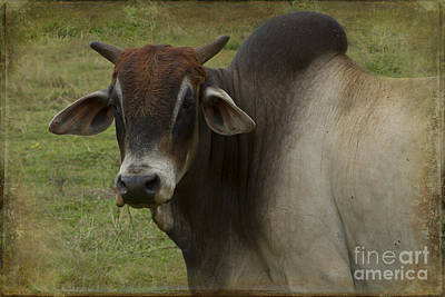 Photograph - Brahma Bull by Sharon Mau