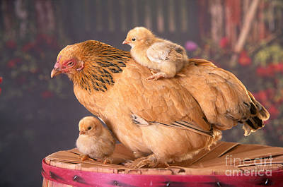 Photograph - Brahma Hen And Chicks by Alan and Sandy Carey