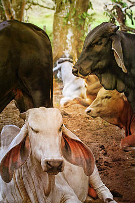Photograph - Brahman Cattle Vertical by Peggy Collins