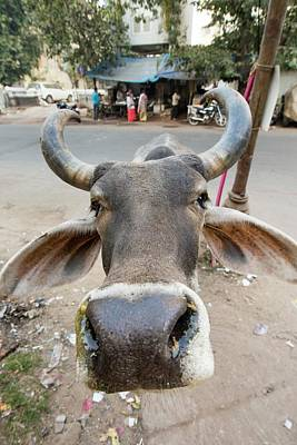 Brahman Cow In Ahmedabad Art Print